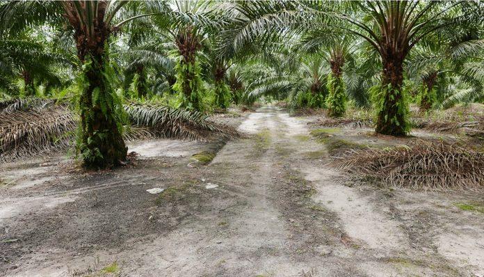 Tanaman sawit berpotensi untuk reboisasi lahan-lahan terbuka dan terlantar yang tidak memiliki nilai ekonomi dan nilai konservasi. Foto: Nabil